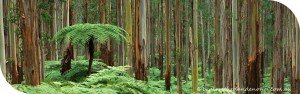 Walking Trails of the Dandenong Ranges