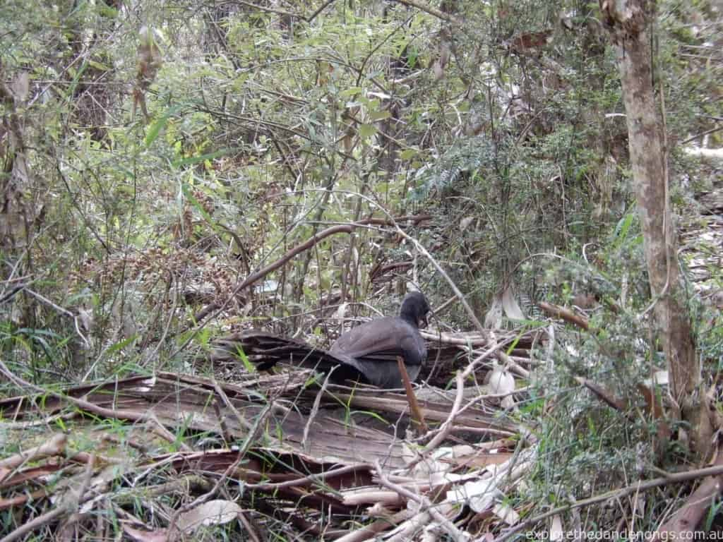 Lyrebird, Dandenong Ranges National Park