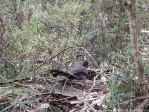Lyrebird, Dandenong Ranges National Park