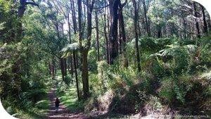 Olinda-Sassafras Walk