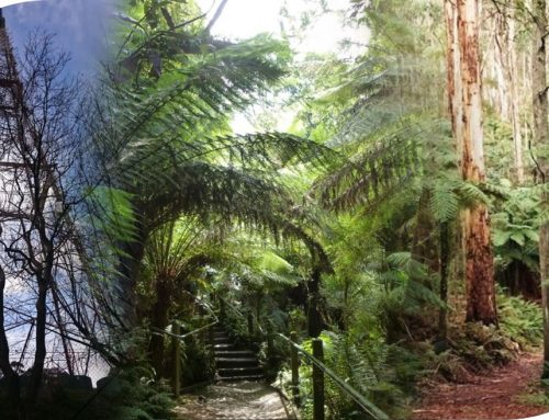 Mt Dandenong Trail – 20kms