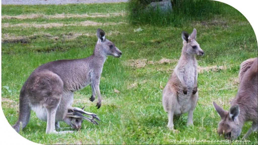 Eastern Grey Kangaroos at Cardinia Reserve, Dandenong Ranges