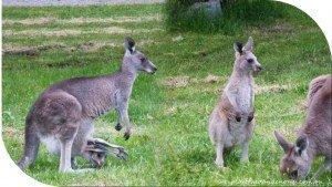 Eastern Grey Kangaroos