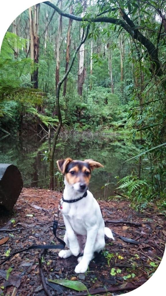 Dog-friendly-walks-dandenong-ranges (7)