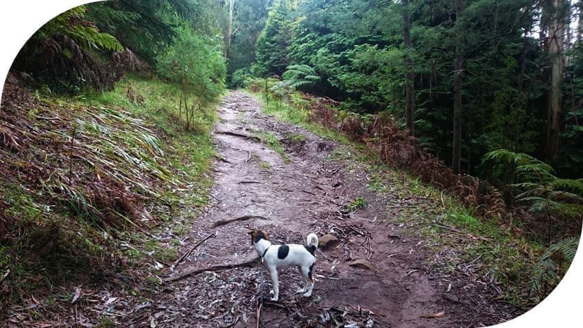 Dog-friendly-walks-dandenong-ranges (8)