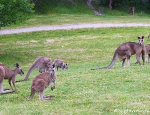 Kangaroo Viewing at Cardinia Reservoir