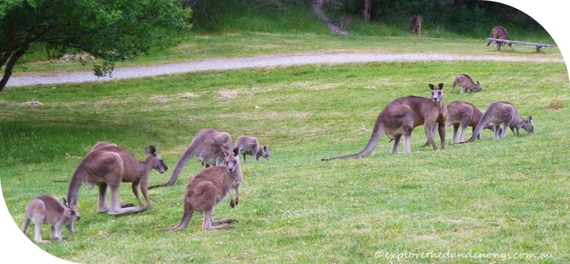 Kangaroo Viewing, Melbourne