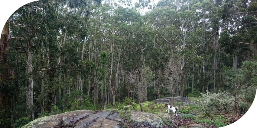 Dog Friendly Walks in the Dandenong Ranges
