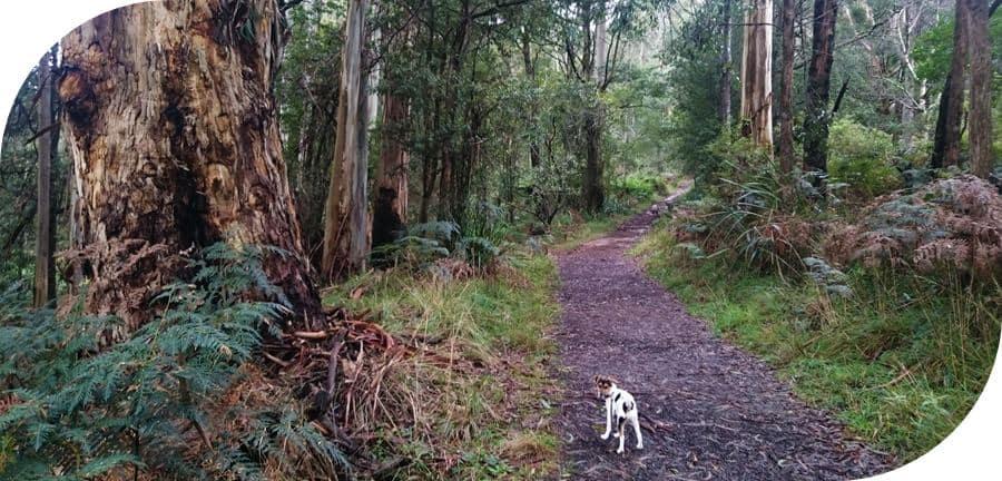 Dog-friendly-walks-dandenong-ranges (11)