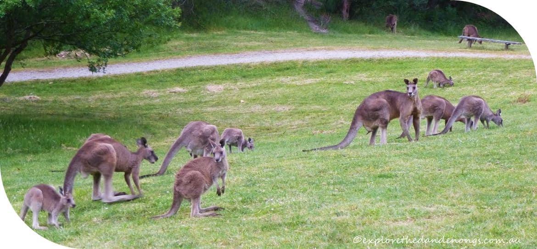 Kangaroo Viewing, Melbourne