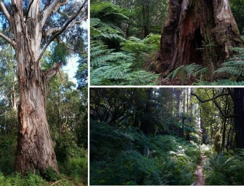 Neuman Track – Lyrebirds & Dragons' Nests