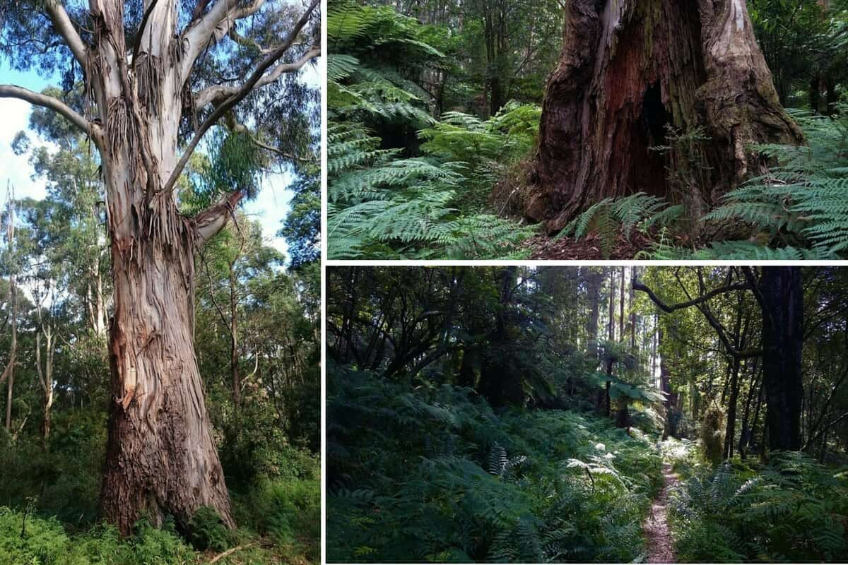 East Sherbrooke Forest Walk, Dandenong Ranges - Lyrebirds