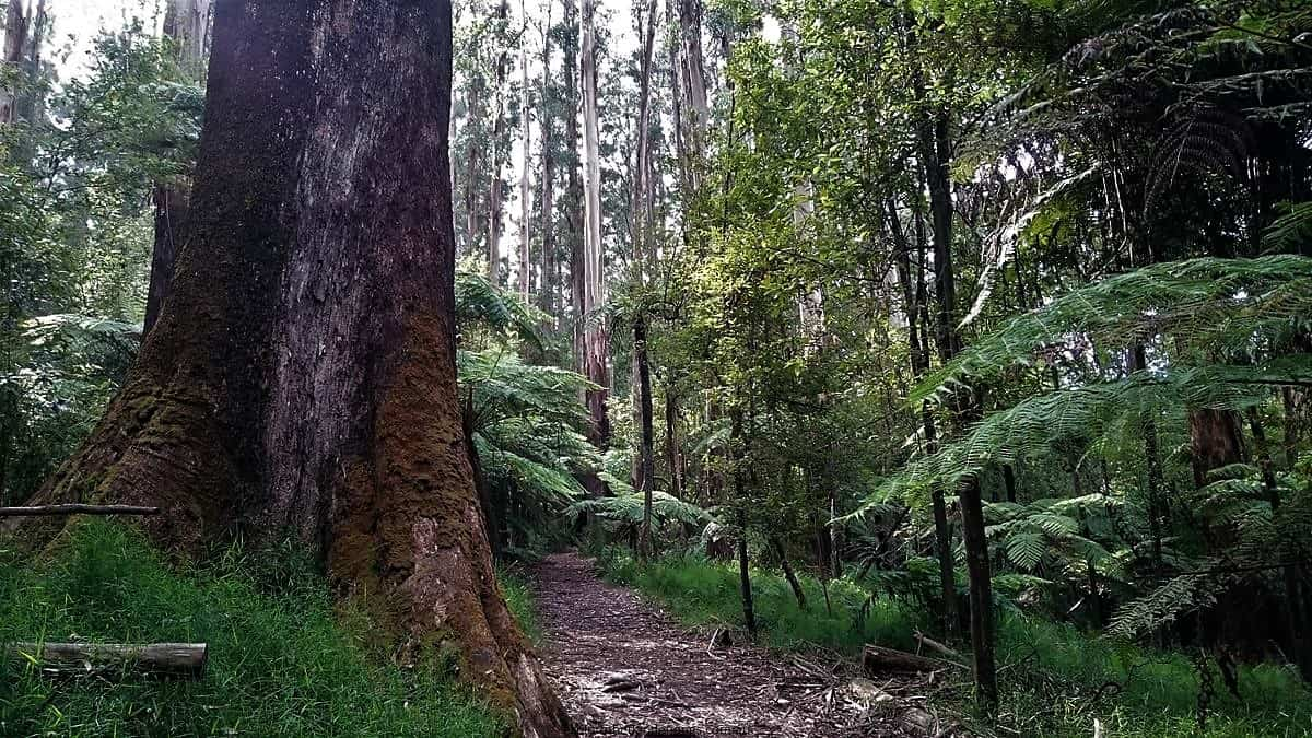 Neuman Track - Lyrebird Walk, East Sherbrooke Forest