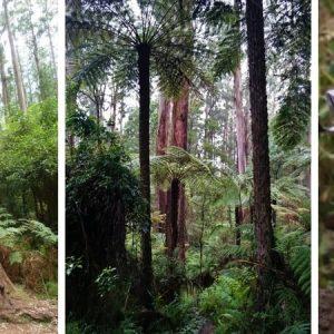 Sherbrooke Forest Victoria Australia