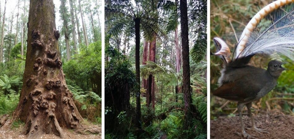 Sherbrooke Forest Victoria Australia