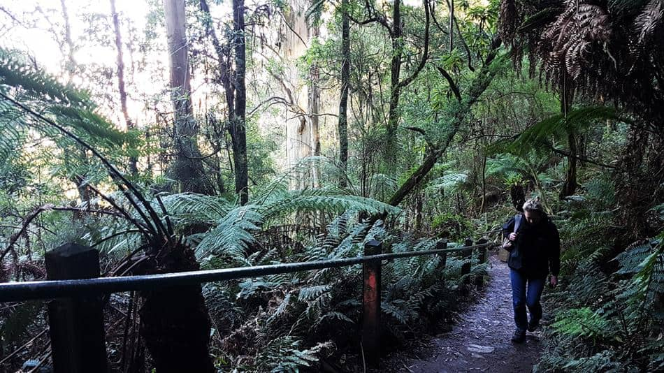 Rainforest Walk on the 1000 Steps, Dandenong Ranges