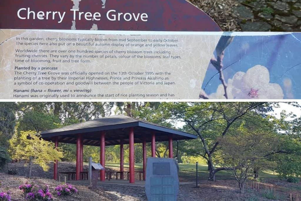 Cherry Tree Grove in the Dandenong Ranges Botanic Garden, Olinda. Cherry Blossom Time in the Springtime is popular.