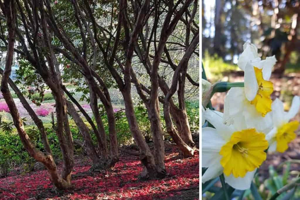 spring daffodils and Rhododendron Trees in the Dandenong Ranges Botanic Gardens