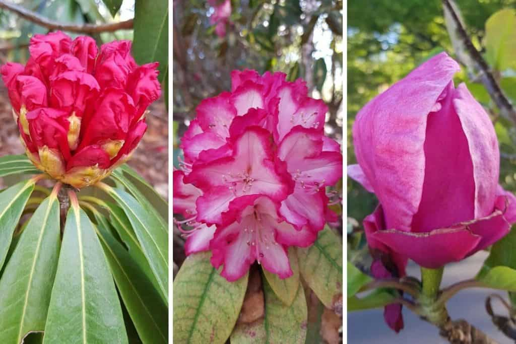 Rhododendron flowers at the Dandenong Ranges Botanic Garden in Olinda.