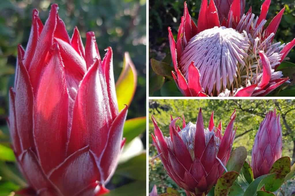 Protea Flowers at the Rhododendron Gardens in Olinda