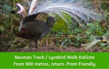 Lyrebird Walk - Neuman Track Dandenong Ranges