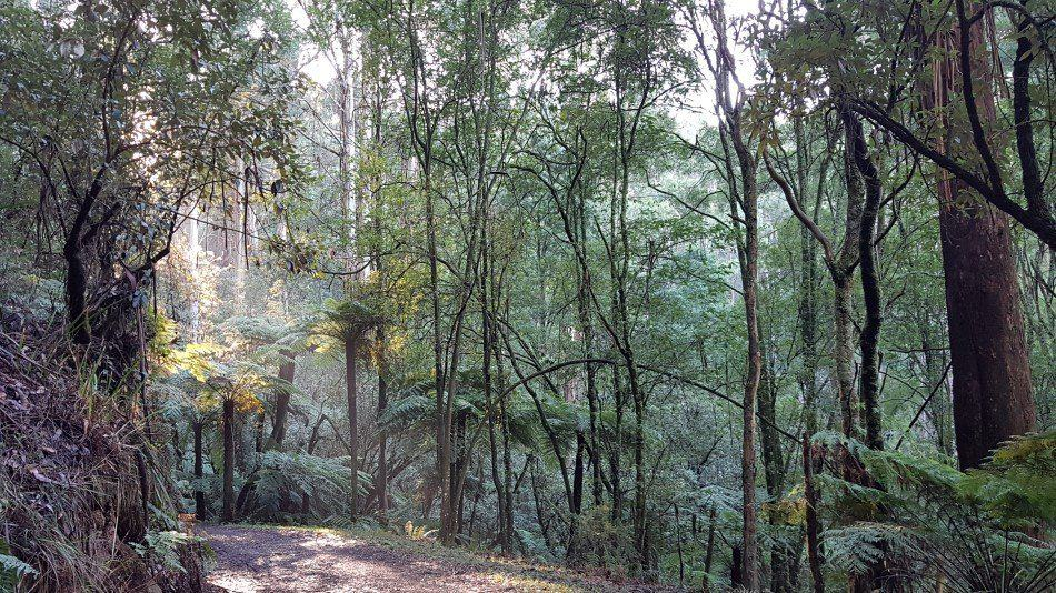 Doongalla Homestead Walks -Tree ferns on the Channel 10 Track