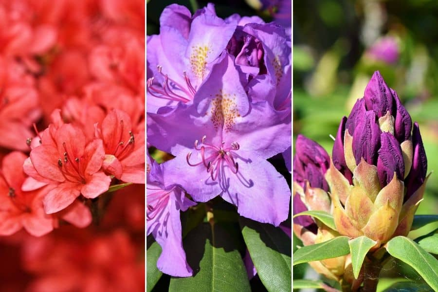 Spring flowering at the National Rhododendron Gardens, now called the Dandenong Ranges Botanic Gardens, Olinda, Australia